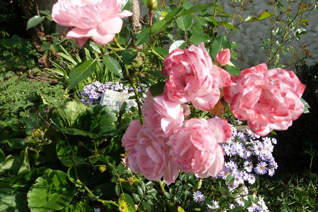 Rosen, Astern, Herbstsonne