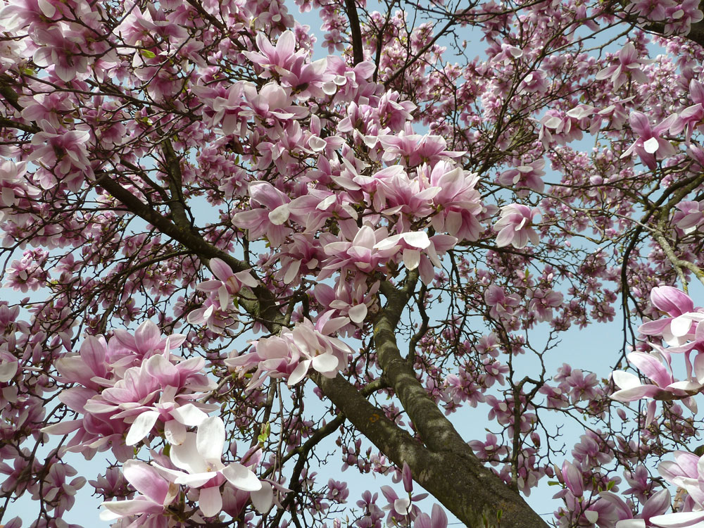 magnolie2